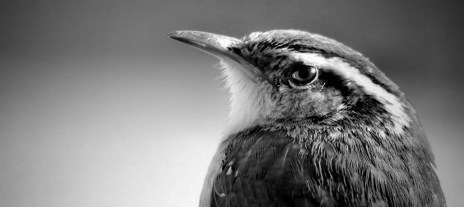 Carolina wren (Thryothorus ludovicianus)