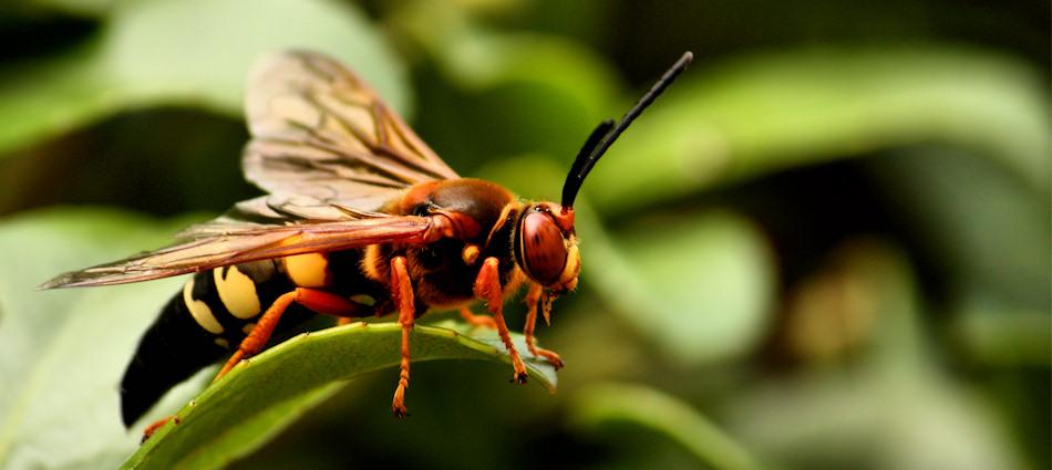Eastern cicada-killer wasp (Sphecius speciosus)